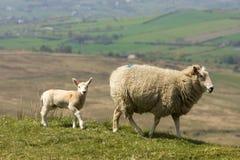 Caminata de las ovejas Imagen de archivo libre de regalías