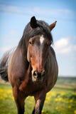 Caminata del caballo de bahía Fotografía de archivo libre de regalías