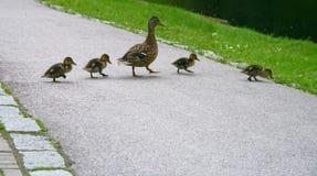 Caminata del pato Fotografía de archivo libre de regalías