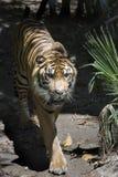 Caminata del tigre Foto de archivo libre de regalías