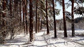 Camine a lo largo de la trayectoria en el tiro estabilizado bosque nevoso del pov del cardán Día asoleado metrajes