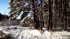 Camine a lo largo de la trayectoria en el tiro estabilizado bosque nevoso del pov del cardán Día asoleado almacen de video