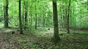Camine a través del bosque con el birdsong, pájaro canta la melodía, el Baden-Baden más townforest almacen de metraje de vídeo