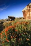Caminhão e celeiro velhos no campo de papoilas de Califórnia Imagem de Stock Royalty Free