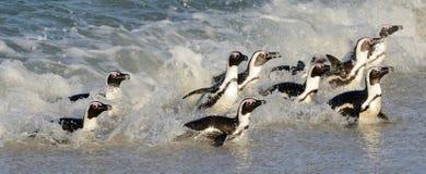 Caminhada africana dos pinguins fora do oceano fotos de stock