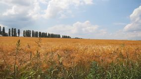 Caminhada ao longo do campo de trigo filme