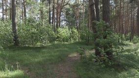Caminhada através da floresta do pinho em um dia de verão filme
