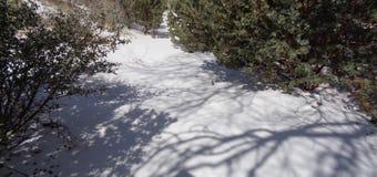 Caminhada através da neve, arctostaphylos cor-de-rosa Pringlei de Manzanita foto de stock