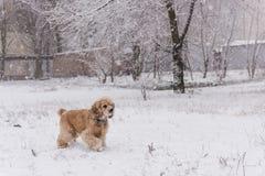 Caminhada bonito do animal de estimação do cão na floresta do inverno apenas fotos de stock