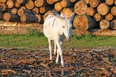 Caminhada branca do burro nas montanhas e uma pilha da madeira Imagens de Stock