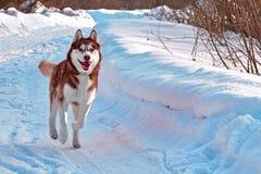 Caminhada com cão Cão de puxar trenós Siberian que joga na caminhada do inverno Cão ronco corrido na neve imagens de stock