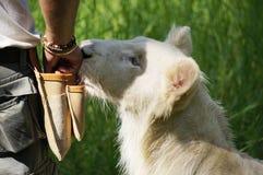 Caminhada com leões Fotos de Stock Royalty Free