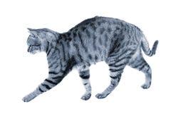 Caminhada da caça do gato Imagens de Stock