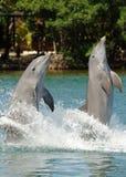 Caminhada da cauda dos golfinhos de Bottlenose Imagem de Stock