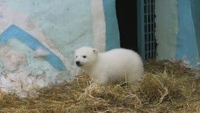 Caminhada da família do urso polar no jardim zoológico em um inverno