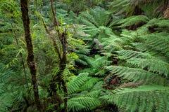 Caminhada da floresta úmida do resto de Maits, grande parque nacional de Otway, Victoria, Austrália fotos de stock royalty free