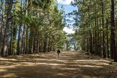 Caminhada da floresta de Esperanza do La, ilha de Tenerife imagens de stock