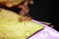 Caminhada da formiga na folha fotos de stock royalty free