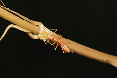 Caminhada da formiga nos galhos fotografia de stock royalty free