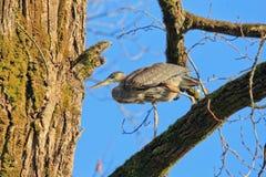 A caminhada da garça-real de grande azul na árvore Fotografia de Stock Royalty Free