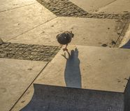 Caminhada da manhã do ` s do pombo foto de stock royalty free