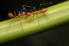 Caminhada das formigas na folha imagens de stock