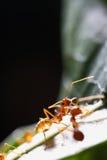 Caminhada das formigas na folha imagem de stock royalty free