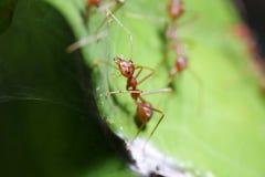 Caminhada das formigas na folha fotografia de stock