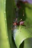 Caminhada das formigas na folha imagem de stock