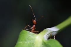 Caminhada das formigas na folha foto de stock royalty free