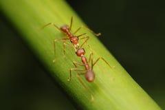 Caminhada das formigas nos galhos fotografia de stock