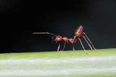 Caminhada das formigas nos galhos imagens de stock