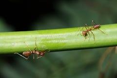 Caminhada das formigas nos galhos fotografia de stock royalty free