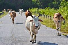 Caminhada das vacas do rebanho na estrada Fotografia de Stock Royalty Free