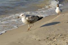 Caminhada de duas gaivotas na praia fotos de stock royalty free