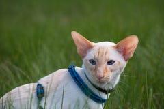 Caminhada de gato Foto de Stock