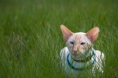 Caminhada de gato Imagem de Stock