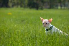 Caminhada de gato Imagens de Stock Royalty Free