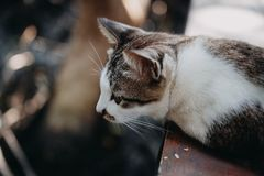 Caminhada de gato de Brown no assoalho de madeira Fotos de Stock