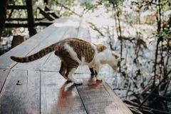 Caminhada de gato de Brown no assoalho de madeira Fotos de Stock Royalty Free