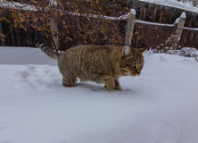 Caminhada de gato em uma neve do inverno foto de stock