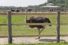 Caminhada de uma avestruz Foto de Stock