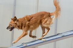 Caminhada do cão da agilidade do cão Imagem de Stock