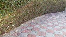 Caminhada do fundo do sidewaik dos boragineae de Carmnretusa imagens de stock royalty free