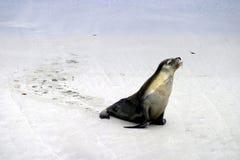 Caminhada do leão de mar Imagem de Stock Royalty Free