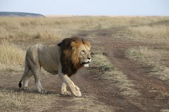Caminhada do leão no maasai selvagem mara foto de stock