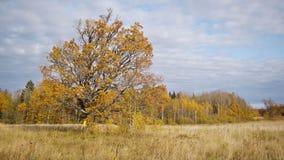 Caminhada do outono no fundo do carvalho velho só video estoque