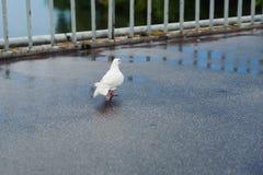 Caminhada do pombo de portador na ponte Fotografia de Stock