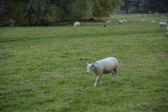 Caminhada dos carneiros no campo verde Imagens de Stock Royalty Free
