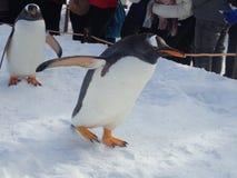 Caminhada dos pinguins no inverno imagens de stock